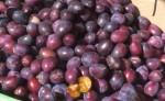 Czas na śliwki – skarb polskiego sadu